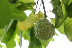 Custard apple fruit in Thailand Royalty Free Stock Images