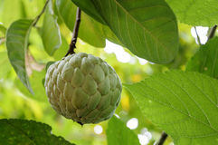 Custard apple fruit in Thailand Royalty Free Stock Image