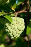Custard Apple Fruit On Tree Royalty Free Stock Photo