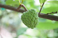 Custard apple fruit Royalty Free Stock Photography