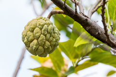 Custard apple Stock Photos