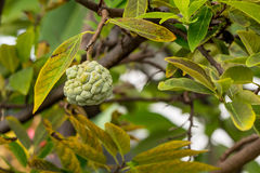 Custard apple Royalty Free Stock Photo