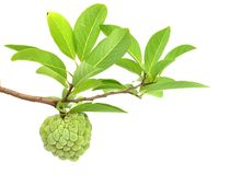 Custard Apple Isolated Royalty Free Stock Images
