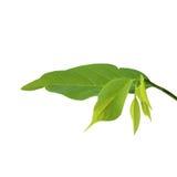 Custard Apple leaf isolated on white background.  stock photo