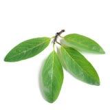 Custard apple leaves on white background. Beautiful Green leaves (Custard apple Royalty Free Stock Photo