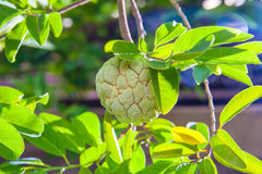 Custard Apple Stock Images
