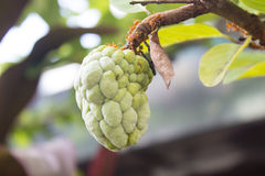 Custard Apple na drzewie Fotografia Stock