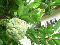 Custard apple  .Phetchaburi.Thailand Royalty Free Stock Photo