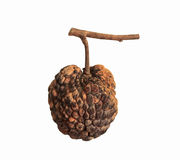 Custard apple rot and dry On white background. Custard apple rot and dry On a white background Royalty Free Stock Image
