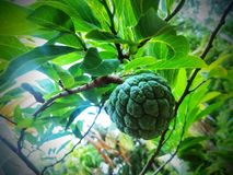 Custard Apple. Sitafal which is known as Custard apple or Sugar apple, grown in my backyard. Its flesh is fragrant and sweet, creamy white through light yellow Royalty Free Stock Photo