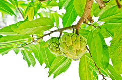 Custard apple. Still on the branch stock image