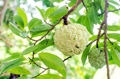 Custard apple, Sugar apples or Annona squamosa Linn, growing on Royalty Free Stock Images