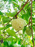 Custard apple, Sugar apples or Annona squamosa Linn, growing on Royalty Free Stock Photography