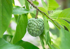 Custard apple on tree Stock Photography