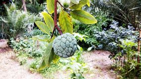 Custard apple on a tree royalty free stock images
