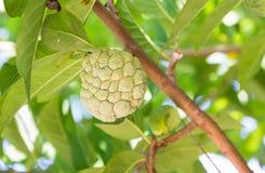 Custard apple on tree Stock Photos