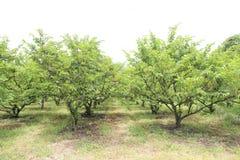 Custard apple tree in garden Royalty Free Stock Photos