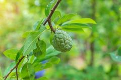 Custard apple tree on a green background in garden Royalty Free Stock Photo