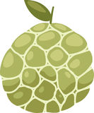 Custard apple vector. Custard apple solated illustration on white background vector Stock Images