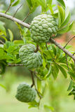 Custard apples Stock Photo