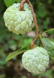Custard apples Stock Image