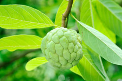 Custard apples or Sugar apples Stock Image