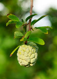 Custard apples or Sugar apples or Annona squamosa Linn. Growing on a tree in garden, Thailand Stock Photo
