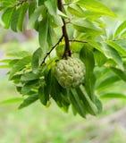 Custard jabłko na drzewie obrazy stock