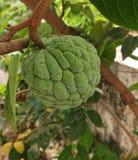 Custard jabłko w zielonym tle zdjęcie stock