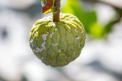 Custard jabłka owoc na drzewie Zdjęcie Royalty Free