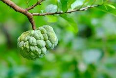 Custard jabłko na drzewie w ogródzie Zdjęcie Royalty Free