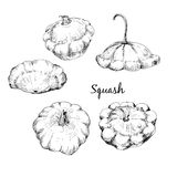 Custard marrow. Set of hand drawn graphic illustrations Stock Images
