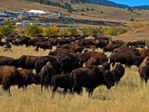 Custer国家公园每年水牛城北美野牛召集 免版税库存图片