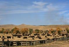 Custer国家公园每年水牛城北美野牛召集 库存照片