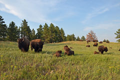 Custer bizon zdjęcie royalty free