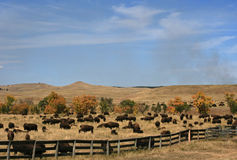 Custer State Park Annual Buffalo Bison Roundup arkivfoto