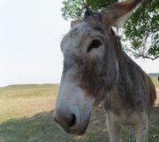 Custer State Park Begging Burro Royalty Free Stock Photos
