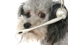 Customer Service Poodle Stock Image