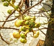 Custurd jabłko Zdjęcia Stock