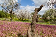 Cut almond tree in a field with purple flowers in spring in Cypr Royalty Free Stock Image
