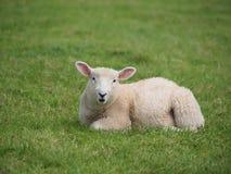 Cut Baby Lamb. Cute lamb lying down in meadow royalty free stock images