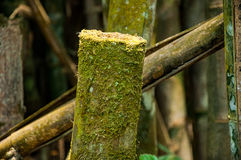 Cut bamboo in forest Royalty Free Stock Photography