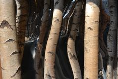 Cut birch trunks and mirrors to create optical illusion of a passageway, that doesn`t exist. royalty free stock photos