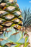 Cut Blue Agave Plants Stock Image
