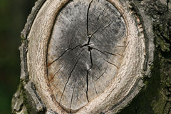 Cut branch - tree grain Stock Photo