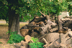 Cut branches, logs and stumps lying in the Park under a big gree. N tree Royalty Free Stock Images