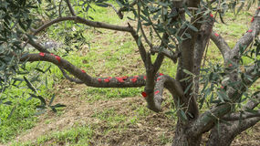 Cut branches from olive tree Royalty Free Stock Photography