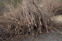 Cut brown leafless branches of trees bushes by road way in winter mud. Chips royalty free stock photo