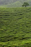 Cut bushes with tree. The hedged bushes of a tea plantation is seen over rolling hills with a tree on a hilltop Stock Photos