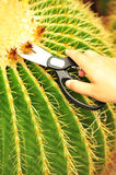 Cut cacti pricks Royalty Free Stock Photography